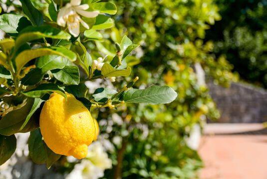 Agrumes et Fruitiers de climat doux