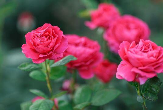 Sélection de rosiers