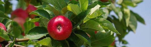 pommier pomme longue conservation