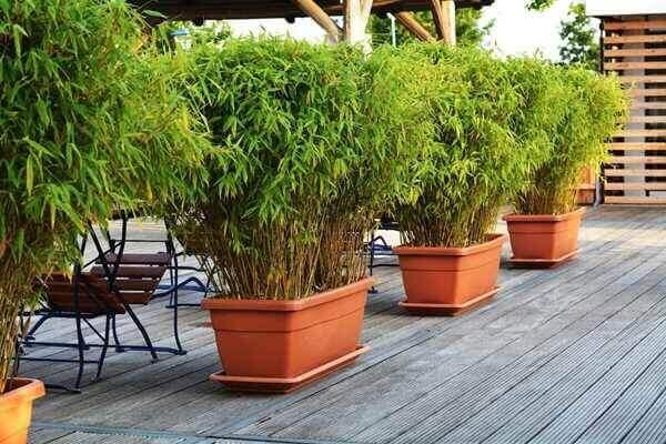 haie de bambous Fargesia sur terrasse en bois