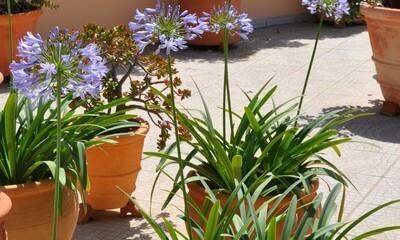 Dans un pot, ses fleurs égayent un balcon ou une terrasse.