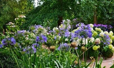 Dans un massif, ses inflorescences bleues et blanches illuminent le jardin.