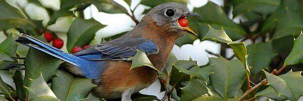 arbustes à baies pour les oiseaux