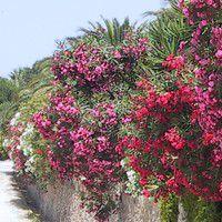 laurier rose bord de mer jardin