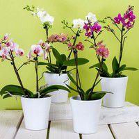 Orchidées en pot