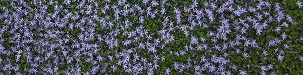vviace couvre sol tapissante