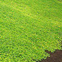 talus plantes tapissantes