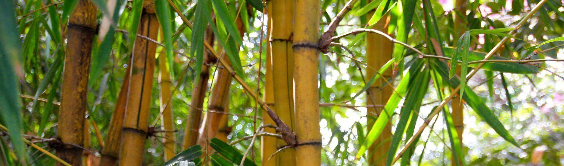 bambou pour haie