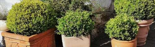 Planter buxus en pot