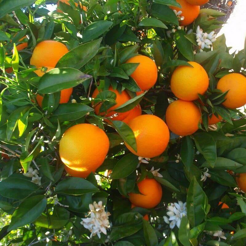 oranger oranges douces