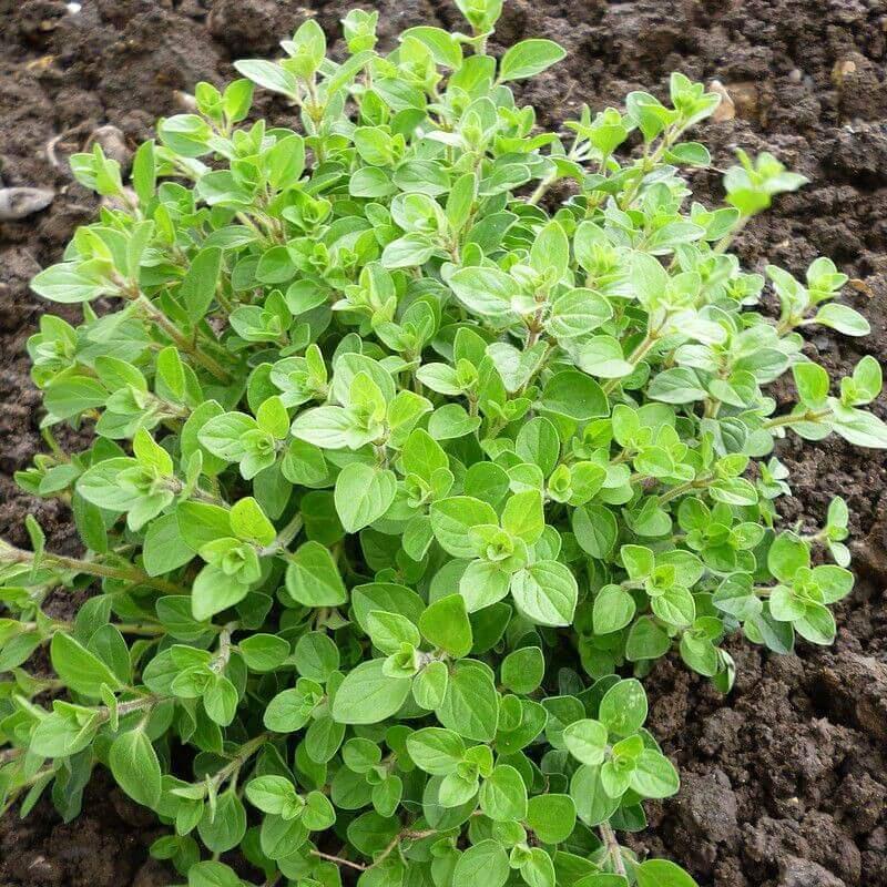 origan infusion plante aromatique
