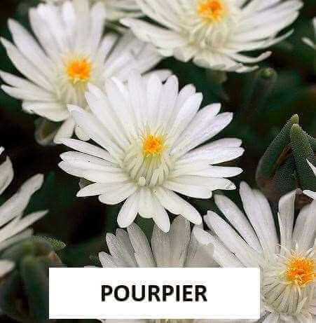 Pourpier Delosperma